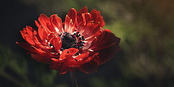 betekenis van het latijnse woord flos uitgebeeld door rode bloem